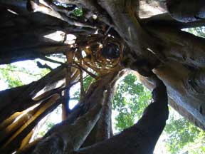 A Strangling Fig from the Inside